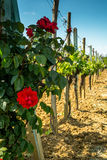 Vineyard with roses. In Tuscany in the spring, Italy Royalty Free Stock Image