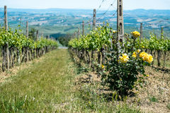 Vineyard with roses. In Tuscany in the spring, Italy Stock Images