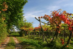 Vineyard route. In autumn Royalty Free Stock Image