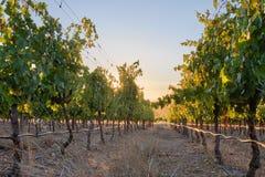 Vineyard row against setting sun stock photos
