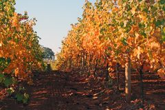 Vineyard Row in Autumn Stock Images