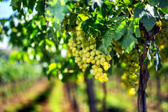 Vineyard row with bunches of ripe white wine grapes. Stock Photos