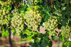 Vineyard row with bunches of ripe white wine grapes. Royalty Free Stock Image