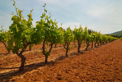 Vineyard row in countryside Royalty Free Stock Photography