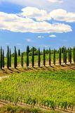 Vineyard with row of cypress trees in Val d`Orcia, Tuscany, Ital Royalty Free Stock Image