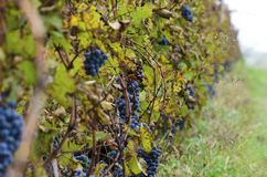 Vineyard row during the harvesting in Bulgaria. Selective focus royalty free stock photography