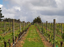 Vineyard Row Stock Photo
