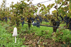 Vineyard row with Merlot clusters in a cloudy day during the vine harvest in Bulgaria. Selective focus Stock Photos
