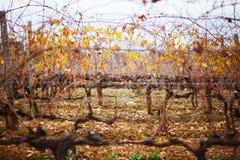 Vineyard row at sunset Royalty Free Stock Photo