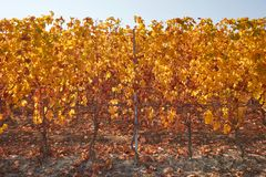 Vineyard, row of vine in autumn with yellow leaves Stock Photography
