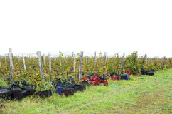 Vineyard row with wooden posts and crates on the ground Stock Images