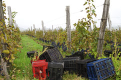 Vineyard row with wooden posts and crates during the vine harvest in Bulgaria. Selective focus royalty free stock photo