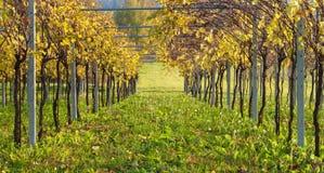 Vineyard - Rows Royalty Free Stock Photos