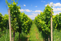Vineyard rows Stock Photography