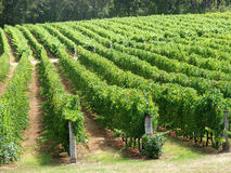 Vineyard Rows. Rows at a vineyard/winery stock images