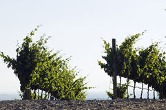 Vineyard rows Stock Photos