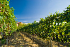 Vineyard rows. Barbera vineyard rows in Piemonte, Italy Royalty Free Stock Photo
