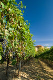 Vineyard rows. Barbera vineyard rows in Piemonte, Italy Stock Images