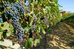 Vineyard rows. Barbera vineyard rows in Piemonte, Italy Stock Photography