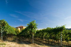 Vineyard rows. Barbera vineyard rows in Piemonte, Italy Royalty Free Stock Images