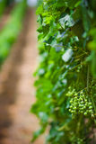 Vineyard rows Royalty Free Stock Photography
