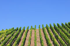 Vineyard Rows against blue sky Royalty Free Stock Images