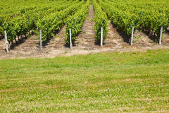 Vineyard rows behind a green meadow Stock Photography