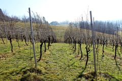 Vineyard rows on cold sunny winter day Royalty Free Stock Photo