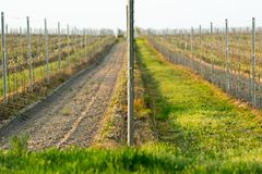 Vineyard rows front-wise royalty free stock photos