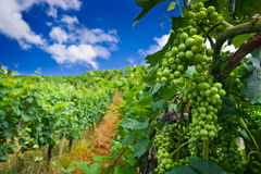 Vineyard rows in Germany Stock Photography