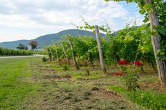 Vineyard with rows of grape vine in sunrise with old building, villa on top of the vine yard, traditional authentic. European winery, Slovenske Konjice royalty free stock photography
