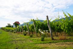Vineyard with rows of grape vine in sunrise with old building, villa on top of the vine yard, traditional authentic. European winery, Slovenske Konjice royalty free stock photo