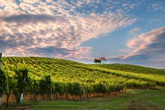 Vineyard with rows of grape vine in sunrise, sunset with old building, villa on top of the vine yard, traditional. Authentic European winery, Slovenske Konjice royalty free stock photos