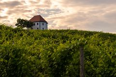 Vineyard with rows of grape vine in sunrise, sunset with old building, villa on top of the vine yard, traditional. Authentic European winery, Slovenske Konjice stock image