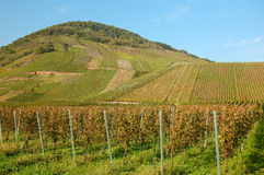 Vineyard with rows of grapes. On a hill stock photo