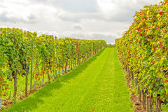 In the vineyard - rows of grapes royalty free stock image