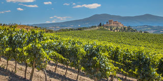 Vineyard with  Rows of grapes Stock Images