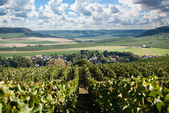 Vineyard with rows of grapes growing under a blue sky Royalty Free Stock Photo