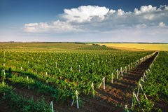Vineyard with rows of grapes growing under a blue sky Stock Photos