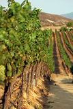 Rows of grapes in a vineyard Stock Photography