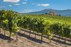 Vineyard with  Rows of grapevines Royalty Free Stock Photos