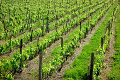 Vineyard Rows Green Stock Image