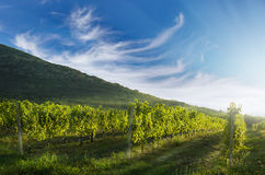 Vineyard rows with hill in the background Stock Image