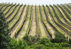 Vineyard rows. Hillside vineyard pattern in Spring Stock Images