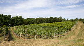 Vineyard Rows horizontal orientation. This is Vineyard Rows with a blue sky in horizontal orientation Stock Photography