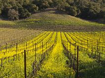 Vineyard rows in the Napa Valley. Mustard covering the Napa Valley vineyards Stock Images