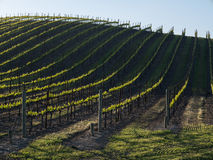 Vineyard rows Royalty Free Stock Images