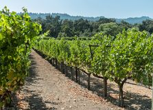 Vineyard rows. Vineyard, Napa Valley, just after the harvest Stock Images