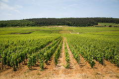 Vineyard rows near Beaune, France Royalty Free Stock Image