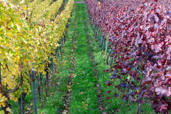 Vineyard rows with red and yellow leaves Royalty Free Stock Image